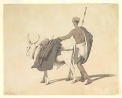 Indian villager with bullock